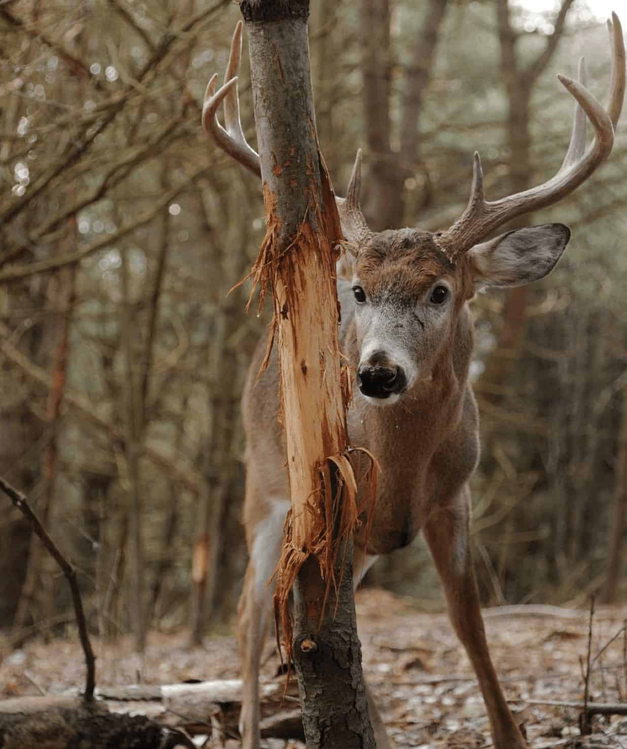 Whitetail buck with rubbed tree