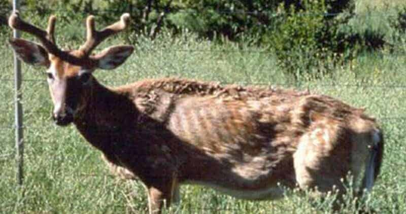 Whitetail deer with Chronic Wasting Disease (CWD)