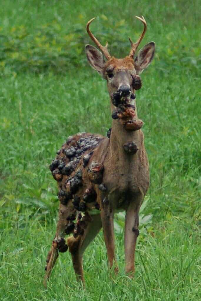 Whitetail buck deer with Cutaneous Fibroma / Deer Warts