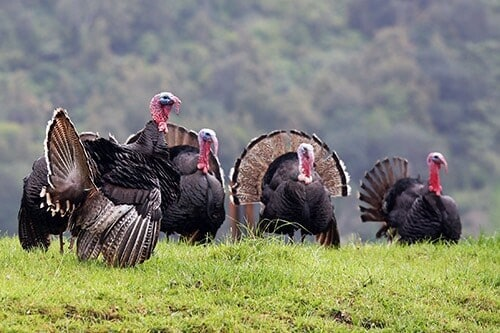 bachelor group of male turkeys