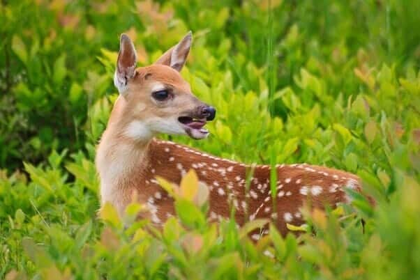 whitetail fawn deer call