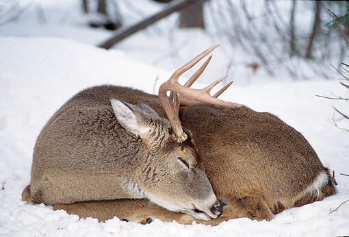 sleeping whitetail buck